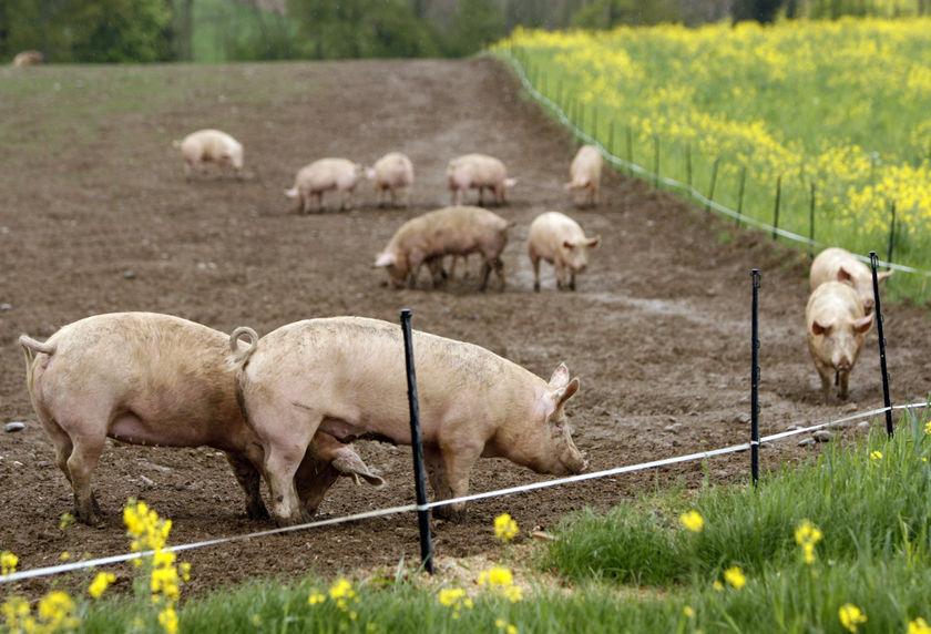 Вигул для свиней