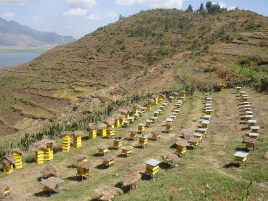 Погода - главный риск для пчеловодства