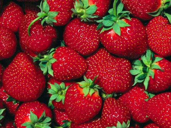 Business strawberry cultivation plan