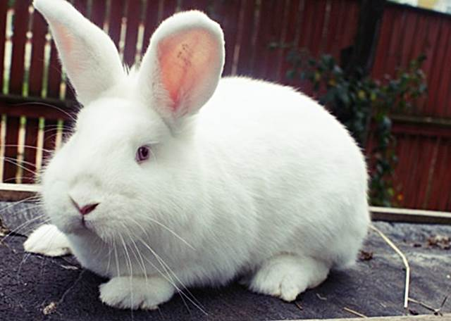 Business rabbit breeding plan